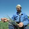 Põuakahjustusega nisutaim. Foto: PRIIT SIMSON/POSTIMEES/SCANPIX