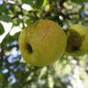 Õunapuu. Foto MARGUS ANSU / POSTIMEES / SCANPIX