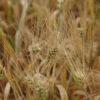 Põuakahjustus viljas. Foto: PEETER LANGOVITS / POSTIMEES / SCANPIX